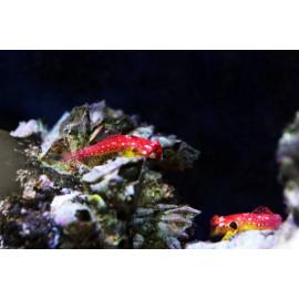 synchiropus sycorax pareja