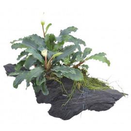 Bucephalandra en tronco Aquaflora