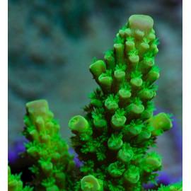 Acropora Green Grado A