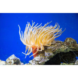 Condylactis gigantea, Condy anemone, M