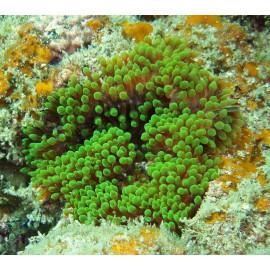 Entacmaea quadricolor green S
