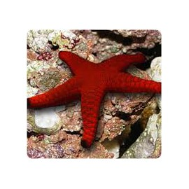 STARFISH (RED)