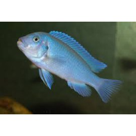 PSEUDOTROPHEUS ZEBRA BLUE