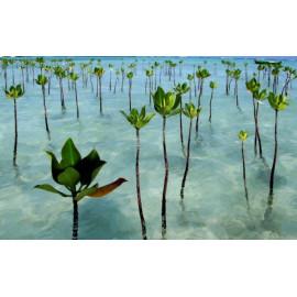Baina de Manglar Mangrove Seeds