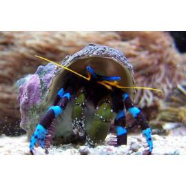 Calcinus elegans Ermitaño patas azules