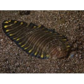 Zebrias fasciatus