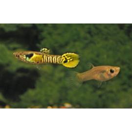 Guppy endler tigre macho/hembra RUI