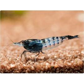 Gamba Rili Black Neocaridina heteropoda