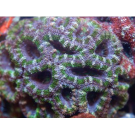 ACANTHASTREA LORDHOWENSIS GREEN