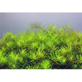 Limnophila vietnam