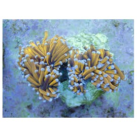 Euphyllia glabrescens Golden Torch