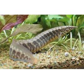 Anguila espinosa semilistada Macrognathus circumcinctus