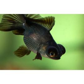 Fantail rojo-negro
