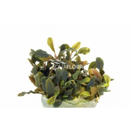 BUCEPHALANDRA SP DEEP PURPLE L