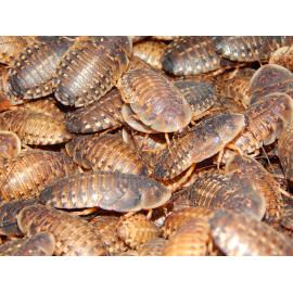 Cucaracha Chopardi 10 und. ELLIPTORHINA CHOPARDI