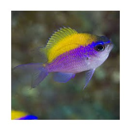 Chromis insolata