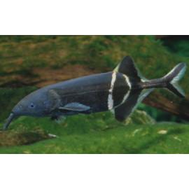Pez elefante africano Gnathonemus petersii