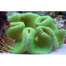 Stichodactyla green fluor XXL