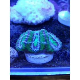 Acanthastrea lordhowensis green Australia