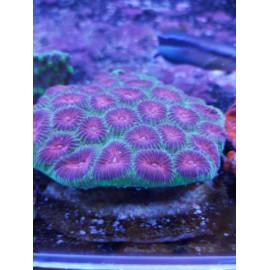 Favia Pink L