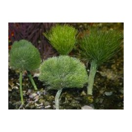 Shaving Brush Algae Penicillus capitatus
