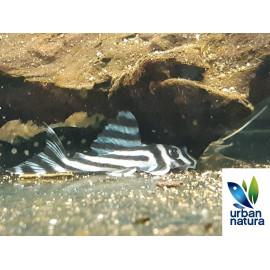 Hypancistrus zebra L046