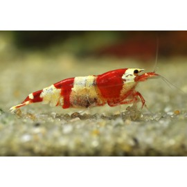 Gamba Rojo cristal Caridina Cantonensis