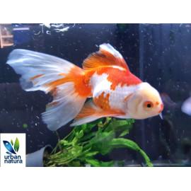 Oranda Rojo Blanco UltraShow 13-15 cm
