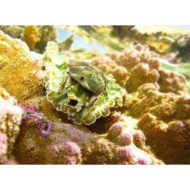 Haliotis asinina Oreja de mar