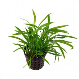 Helanthium callitrichoides