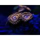 Coral Lens Mantis