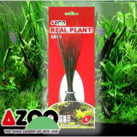 Planta seda Eleocharis 8'' Azoo