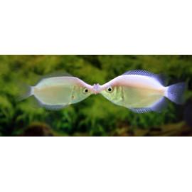 Gourami besucon Helostoma temminckii 5-6 cm
