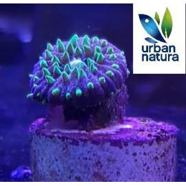 Polyphyllia talpina Ultra