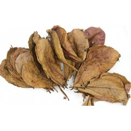 Hojas de Catappa almendro indio Terminalia Catappa 10 hojas
