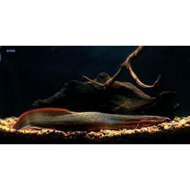 Anguila Espinosa Fuego Mastacembelus erythrotaenia