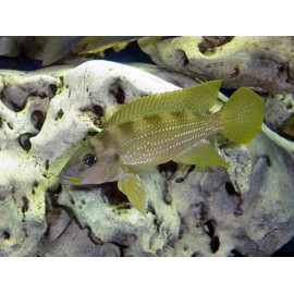 Neolamprologus tetracanthus