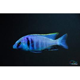 Haplochromis electra Pair