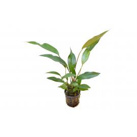 Anubia lanceolata
