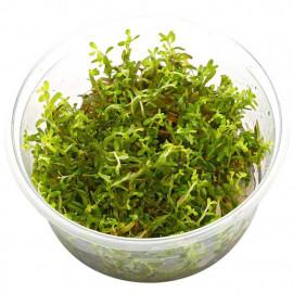 Rotala rotundifolia HRA in vitro