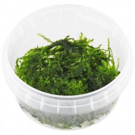 Leptodictyum riparium stringy moss in vitro