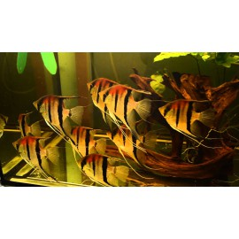Pterophyllum manacapuru