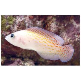 PSEUDOCHROMIS SP RED SPOTTED Pholidochromis cerasina