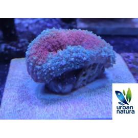 Lobophylia australia 31 red blue neon