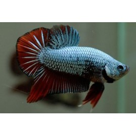 Betta Macho Plackat Hm Triband