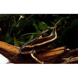 Platydora costatus