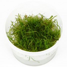 VESICULARIA DUBYANA (JAVA MOSS) IN VITRO CUP