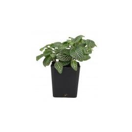 Fittonia 'Mini White'