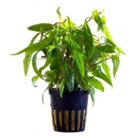 Hygrophila sp. 'Pantanal Wavy'