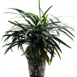 ophiopogon kyoto